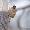 Common Redpoll (female) <br /> City of Bridgeton <br /> St. Louis County, Missouri <br /> 04/02/2013<br /> 2:04pm