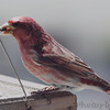 Purple Finch (male) <br /> City of Bridgeton <br /> St. Louis County, Missouri <br /> 04/05/2013 <br /> 12:09pm