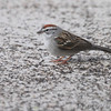 Chipping Sparrow <br /> Shot out basement door <br /> City of Bridgeton <br /> St. Louis County, Missouri  <br /> 04/06/2013<br /> 9:30am