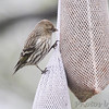 Pine Siskin <br /> City of Bridgeton <br /> St. Louis County, Missouri <br /> 4/15/13<br /> 5:34pm