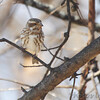 Purple Finch (female) <br /> City of Bridgeton <br /> St. Louis County, Missouri <br /> 04/04/2013 <br /> 10:42am