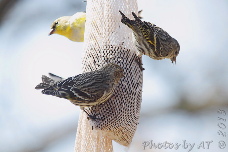 Pine Siskins <br /> City of Bridgeton <br /> St. Louis County, Missouri <br /> 04/04/2013 <br /> 12:13pm