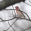 Purple Finch (male) <br /> City of Bridgeton <br /> St. Louis County, Missouri <br /> 04/06/2013<br /> 11:27am