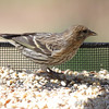 Pine Siskin <br /> City of Bridgeton <br /> St. Louis County, Missouri <br /> 04/05/2013<br /> 12:11pm