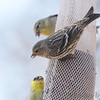 Pine Siskin <br /> City of Bridgeton <br /> St. Louis County, Missouri <br /> 04/04/2013 <br /> 12:06pm