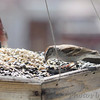 Chipping Sparrow <br /> and Purple Finch <br /> City of Bridgeton <br /> St. Louis County, Missouri <br /> 04/05/2013<br /> 2:55pm