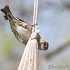 Pine Siskin <br /> City of Bridgeton <br /> St. Louis County, Missouri <br /> 4/22/13 <br /> 9:59am