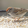 Chipping Sparrow <br /> City of Bridgeton <br /> St. Louis County, Missouri <br /> 04/04/2013 <br /> 4:04pm