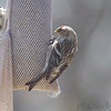 Common Redpoll (female) <br /> and American Goldfinch <br /> City of Bridgeton <br /> St. Louis County, Missouri <br /> 04/02/2013<br /> 2:03pm