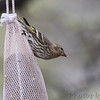 Pine Siskin <br /> City of Bridgeton <br /> St. Louis County, Missouri <br /> 4/15/13<br /> 5:31pm