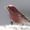 Purple Finch (male) <br /> City of Bridgeton <br /> St. Louis County, Missouri <br /> 04/05/2013 <br /> 2:55pm