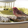 Purple Finch (male) <br /> City of Bridgeton <br /> St. Louis County, Missouri <br /> 04/05/2013 <br /> 1:39pm