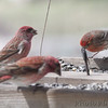 Purple Finches (male) <br /> and House Finch <br /> City of Bridgeton <br /> St. Louis County, Missouri <br /> 04/06/2013<br /> 11:57am
