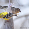 Pine Siskin <br /> and American Goldfinch <br /> City of Bridgeton <br /> St. Louis County, Missouri <br /> 04/02/2013 <br /> 12:03pm