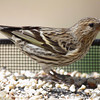 Pine Siskin <br /> City of Bridgeton <br /> St. Louis County, Missouri <br /> 04/05/2013 <br /> 12:11pm