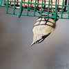 Red-breasted Nuthatch <br /> City of Bridgeton <br /> St. Louis County, Missouri <br /> 04/04/2013 <br /> 8:47am
