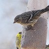 Pine Siskin <br /> City of Bridgeton <br /> St. Louis County, Missouri <br /> 04/04/2013 <br /> 12:07pm