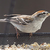 Chipping Sparrow <br /> City of Bridgeton <br /> St. Louis County, Missouri  <br /> 04/04/2013 <br /> 4:03pm