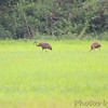 Sandhill Cranes <br /> Dalbow Road <br /> St. Charles County <br /> 8/08/13