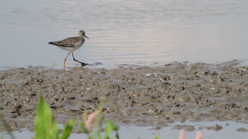 """Lesser Yellowlegs <br> Columbia Bottom Conservation Area <br><br><span class=""""noShowSmart""""> <a href=""""/MyKeywords/Bird-Videos/n-gF9bt/i-8mscS2H/A""""> <span style=""""color:yellow"""">Click here to open video in lightbox/full screen</span></a> <br><br></span>  <span class=""""noShowGallery""""> <a href=""""/Birds/Birding-2013-August/2013-08-13-Columbia-Bottom-CA/i-8mscS2H/A""""> <span style=""""color:yellow"""">Click here to open video in lightbox/full screen</span></a> </span>"""