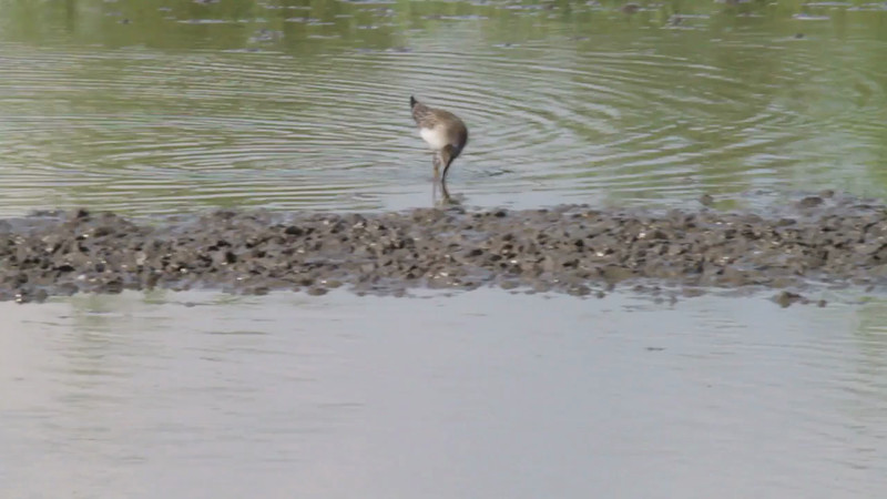 """Lesser Yellowlegs <br> Columbia Bottom Conservation Area <br><br><span class=""""noShowSmart""""><br><a href=""""/MyKeywords/Bird-Videos/n-gF9bt/i-LG29gP6/A""""> <span style=""""color:yellow"""">Click here to open video in lightbox/full screen</span></a> <br><br></span>  <span class=""""noShowGallery""""><br><a href=""""/Birds/Birding-2013-August/2013-08-13-Columbia-Bottom-CA/i-LG29gP6/A""""> <span style=""""color:yellow"""">Click here to open video in lightbox/full screen</span></a> </span>"""