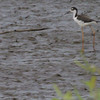 """Black-necked Stilt <br> Columbia Bottom Conservation Area <br><br><span class=""""noShowSmart""""> <a href=""""/MyKeywords/Bird-Videos/n-gF9bt/i-VPDswH4/A""""> <span style=""""color:yellow"""">Click here to open video in lightbox/full screen</span></a> <br><br></span>  <span class=""""noShowGallery""""> <a href=""""/Birds/Birding-2013-August/2013-08-13-Columbia-Bottom-CA/i-VPDswH4/A""""> <span style=""""color:yellow"""">Click here to open video in lightbox/full screen</span></a> </span>"""