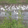 """Mostly Great Egrets <br> Columbia Bottom Conservation Area <br> 2013-08-13 <br> <span class=""""noShowSmart""""> <a href=""""/MyKeywords/Bird-Videos/n-gF9bt/i-Xg6wHmv/A""""> <span style=""""color:yellow"""">Click here to open video in lightbox/full screen</span></a> <br><br></span>  <span class=""""noShowGallery""""> <a href=""""/Birds/Birding-2013-August/2013-08-13-Columbia-Bottom-CA/i-Xg6wHmv/A""""> <span style=""""color:yellow"""">Click here to open video in lightbox/full screen</span></a> </span>"""