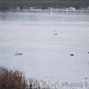 Trumpeter Swans <br /> Heron Pond <br /> Riverlands Migratory Bird Sanctuary