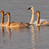 Trumpeter Swans <br /> Ellis Bay<br /> Riverlands Migratory Bird Sanctuary