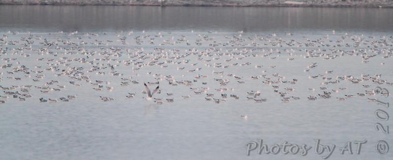 Gull raft <br /> Ellis Bay <br /> Riverlands Migratory Bird Sanctuary