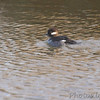 Bufflehead (female)<br /> Riverlands Migratory Bird Sanctuary <br /> 2013-12-12