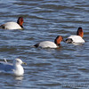 Canvasback <br /> Riverlands Migratory Bird Sanctuary <br /> 2013-12-10