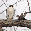 Peregrine Falcon <br /> Maple Island Road (Illinois)<br /> Riverlands Migratory Bird Sanctuary <br /> 12/28/2013