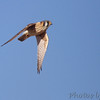 American Kestrel <br />  Riverlands Migratory Bird Sanctuary