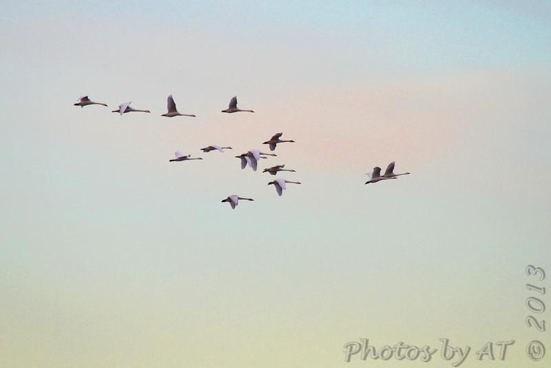 Trumpeters Swans <br /> Riverlands Migratory Bird Sanctuary