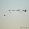 Trumpeters Swans <br /> Riverlands Migratory Bird Sanctuary