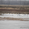 Trumpeters Swans <br /> Heron Pond <br /> Riverlands Migratory Bird Sanctuary