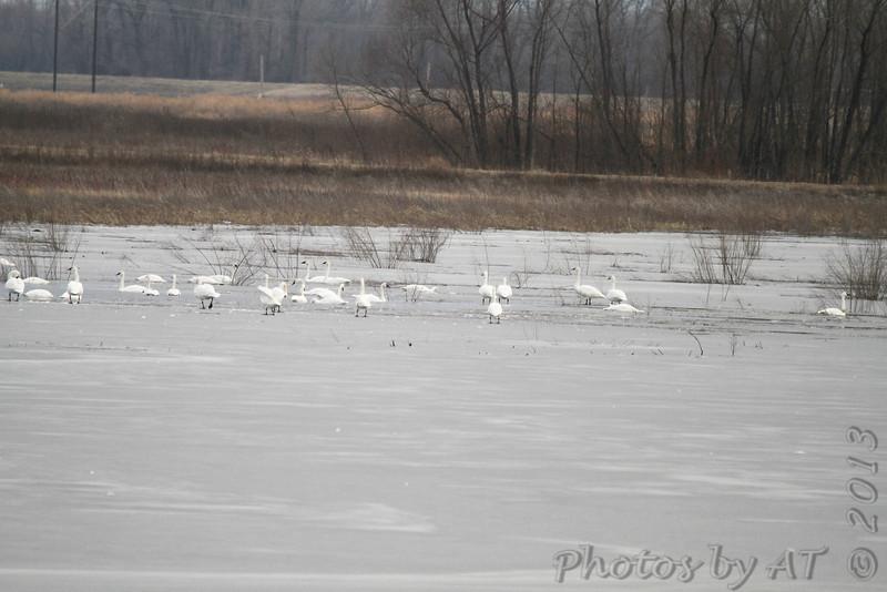 Trumpeters Swans <br /> Heron Pond <br /> Riverlands Migratory Bird Sanctuary