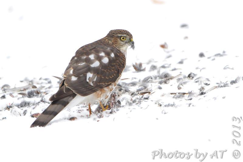 Sharp-shinned Hawk <br /> City of Bridgeton <br />  St. Louis County, Missouri <br /> 2013-12-08
