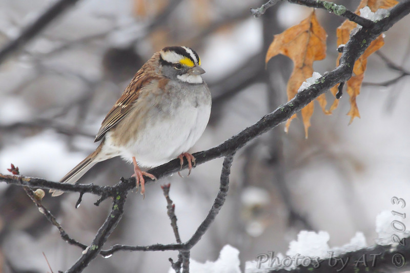 White-throated Sparrow <br /> City of Bridgeton  <br /> St. Louis County, Missouri <br /> 2013-12-14
