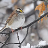 White-throated Sparrow <br /> City of Bridgeton  <br /> St. Louis County, Missouri <br /> 2013-12-14