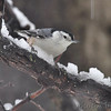 White-breasted Nuthatch <br /> City of Bridgeton  <br /> St. Louis County, Missouri <br /> 2013-12-14