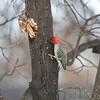 Red-bellied Woodpecker <br /> City of Bridgeton  <br /> St. Louis County, Missouri <br /> 2013-12-30