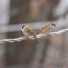Eurasian Tree Sparrows <br /> City of Bridgeton  <br /> St. Louis County, Missouri <br /> 2013-12-21