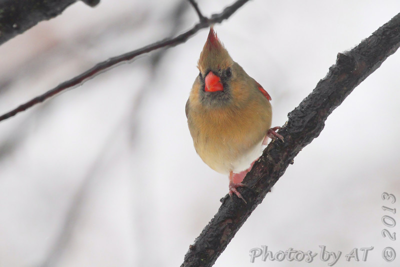 Northern Cardinal <br /> City of Bridgeton  <br /> St. Louis County, Missouri <br /> 2013-12-14