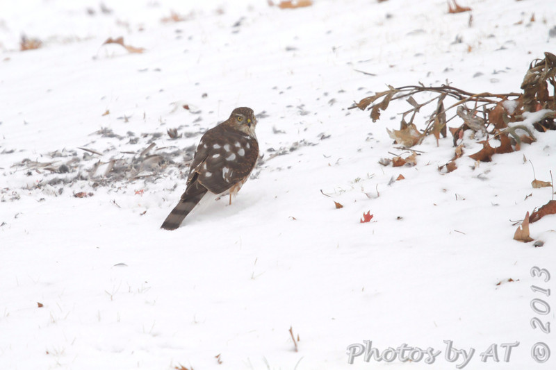 Sharp-shinned Hawk <br /> Bridgeton, MO <br /> 2013-12-08