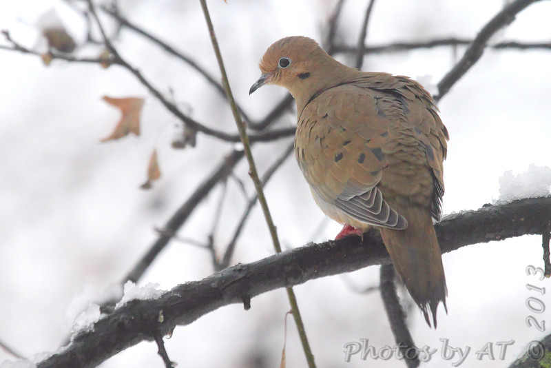 Mourning Dove <br /> City of Bridgeton  <br /> St. Louis County, Missouri <br /> 2013-12-14