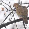 Mourning Dove <br /> City of Bridgeton  <br /> St. Louis County, Missouri <br /> 2013-12-14