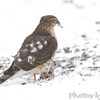 Sharp-shinned Hawk <br /> Bridgeton, MO <br /> 2013-12-08