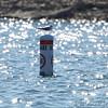 Bonaparte's Gull <br /> Table Rock Lake